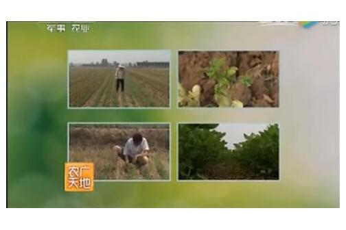 高油酸花生夏直播高产种植技术 ()