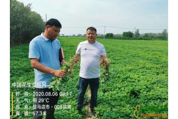 中國花生交易網—2020河南駐馬店產區調研