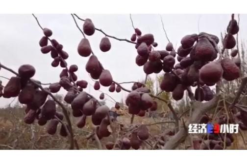 红枣变成致富枣 ()