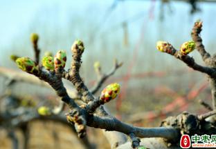 阿克苏地区:加强果树管理 助农持续增收 ()