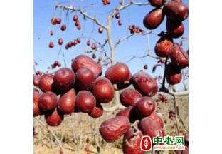 新疆靠红枣产业实现脱贫 ()