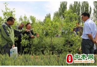 专业指导 红枣增收不用愁 ()