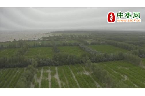 河南大爷花500W在南疆种了200亩红枣,打算不种了 ()