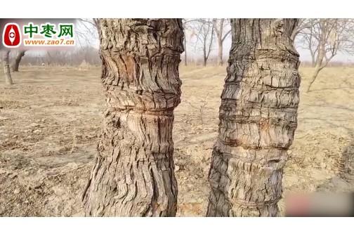 河北农村枣树被扒皮,树身还要割一刀,用处是什么? ()