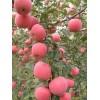 红富士苹果80 3级