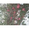 大量供应纸加膜红富士苹果