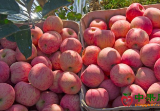 黄陵:苹果成为农民致富的…
