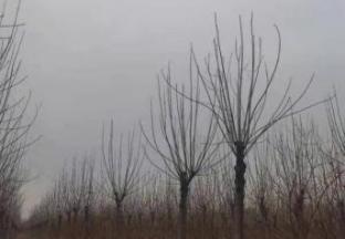 绿化树出清销售-白蜡、红枫、海棠等 ()