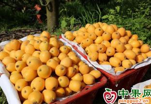 """贵州荔波县:小小枇杷变身致富""""黄金果"""" ()"""