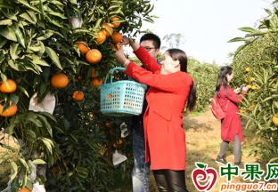 江津石门镇:第十二届晚熟柑橘采果节启幕 ()