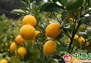 """柠檬价格暴涨  让人""""高攀不起"""" ()"""