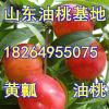 18264955075山东大棚全红油桃大量上市