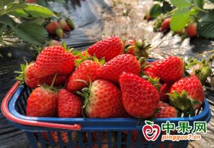 草莓供应增加  价格快速下跌 ()