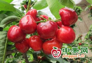陕西澄城县:樱桃出口实现零的突破 ()