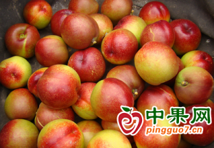安徽碭山:萬畝油桃上市 果…