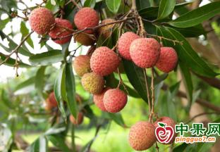 江蘇:夏令水果紛紛上市
