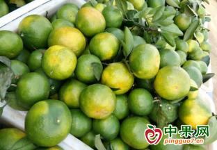广西崇左:温州蜜柑采摘上…