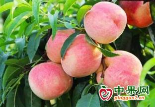 陽山水蜜桃:產量供應不足  價格有所上漲 ()