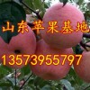 13573955797山东冷库红富士苹果价格便宜