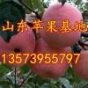13573955797山东早熟苹果大量上市