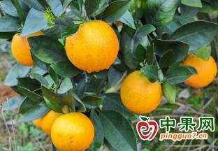 湖北秭归:天气影响 脐橙出货缓慢 ()