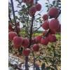 红星苹果大量上市价格不高质量很好