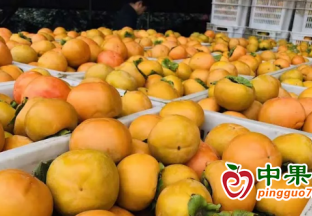 渭南海关助力陕西甜柿首次…