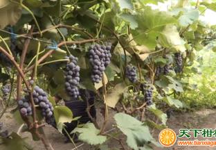 内蒙古葡萄迎来成熟季 ()