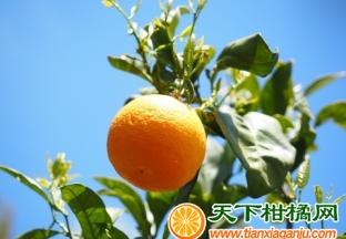 南非柑橘出口受阻 ()