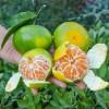 四川蜜橘大量上市!产地直供!