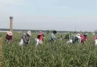 江苏射阳:4万亩蒜薹陆续上…