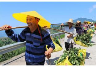 重庆石岗:棵棵花椒树  铺就小康路 ()