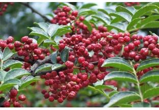 武都:花椒产业助推乡村振…