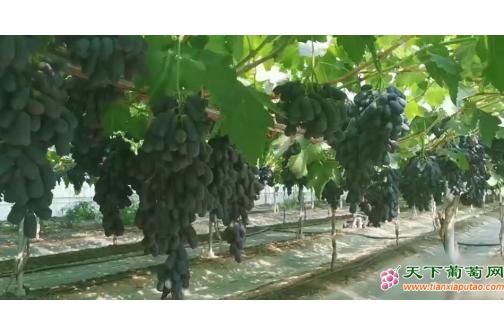 葡萄种植当中,怎么抵御异常天气的影响?