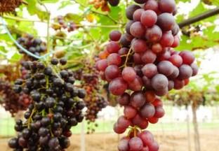 酿酒葡萄品种知识综述 ()