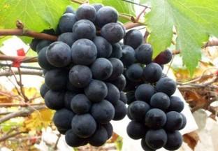 葡萄产业喜人发展背后有隐忧 ()