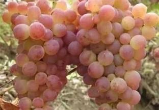 2020年中国葡萄产业发展报告 ()