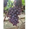 大量供应辽南大棚巨丰红提等各种葡萄