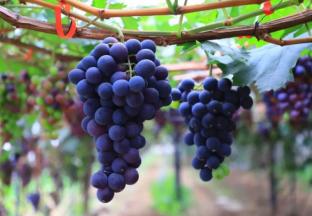 四川西昌市葡萄产业创造致…