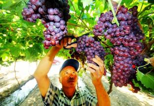 着眼发展葡萄产业 提升农民…