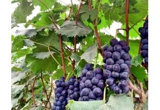 贵州平塘:葡萄成熟挂满枝 …