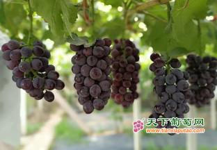 镇江丁庄:葡萄销售遇阻 对…