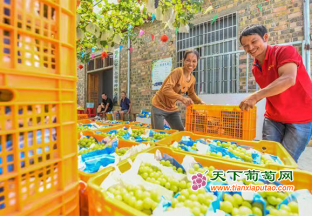 湖南道县:葡萄成熟挂满枝 …