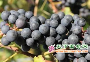 宁夏颁发葡萄酒产业用地不…