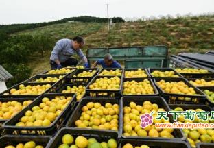 锦屏:柑橘迎丰收