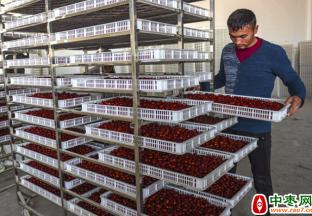 新疆且末:红枣合作社带领村民致富 ()