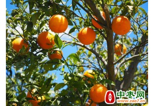 佛罗里达州柑橘产量缩水7%
