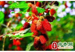 新疆托克逊县:大棚桑葚陆…