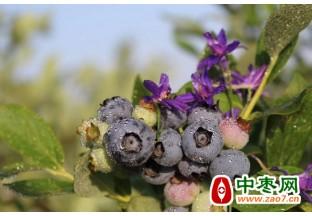 胶东半岛蓝莓初上市